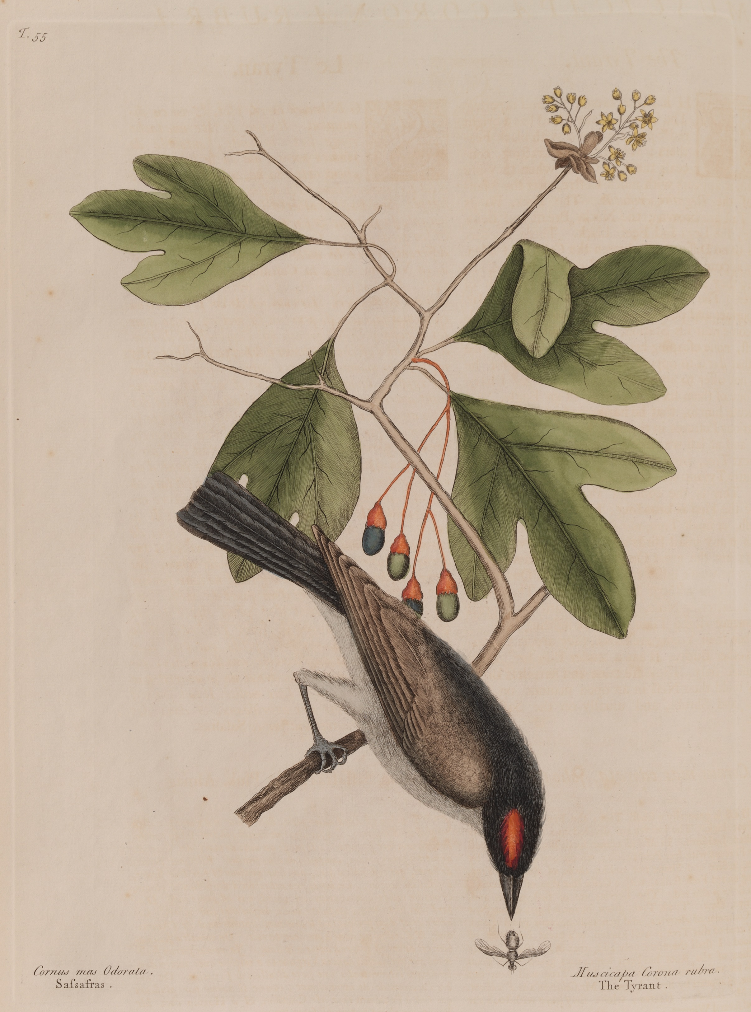 "1731 Catesby Illustration of an Eastern Kingbird, titled ""The 'tyrant' and the sassafras"""