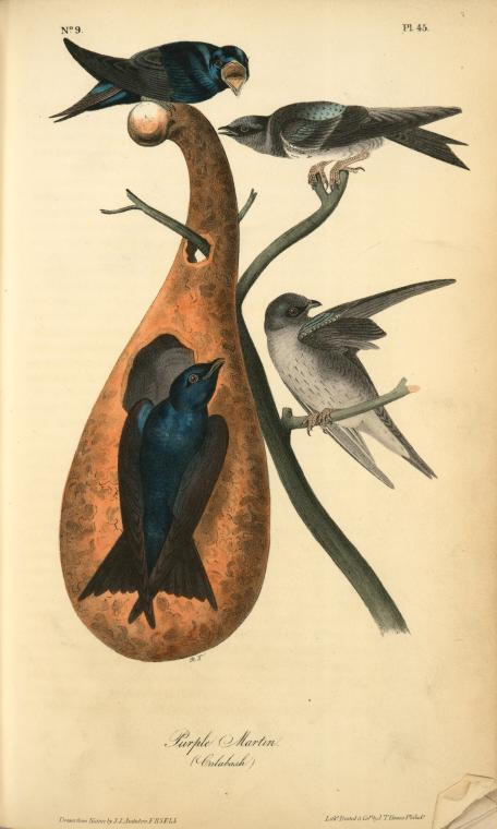 1754 Catesby illustration of four purple martins
