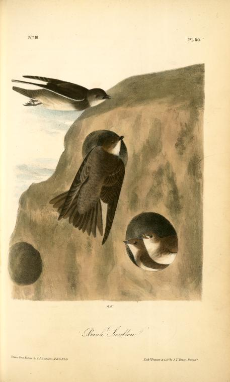 1840 Audubon illustration of a family of bank swallows