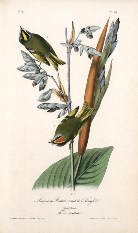 Audubon illustration of a male and female American Golden-crested knight bird