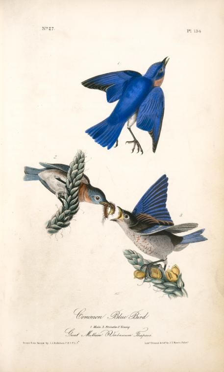 1840 Audubon illustration of three Eastern Bluebirds