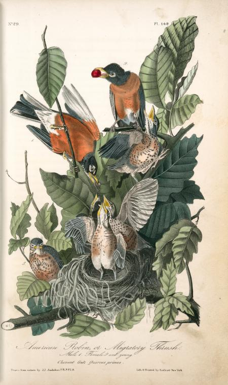 1841 Audubon illustration of a male and female American Robin with five chicks in a nest