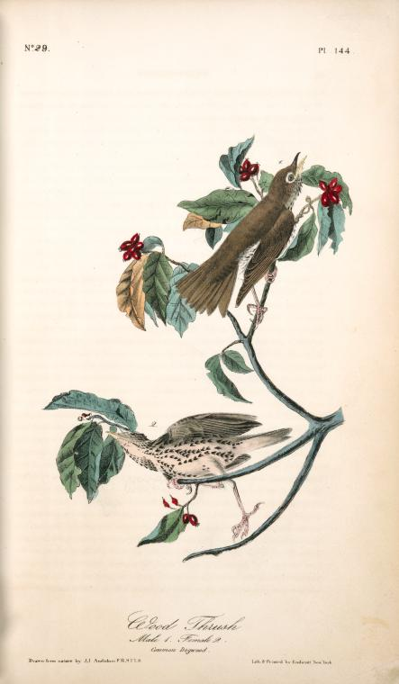 1841 Audubon illustration of a male and female wood thrush perched on a dogwood tree branch