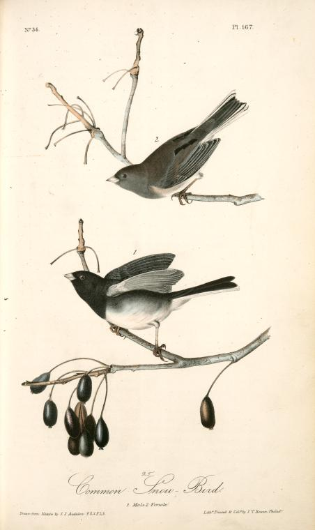 1841 Audubon illustration of two Dark Eyed Juncos