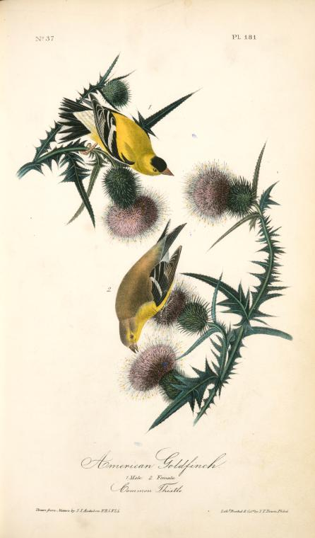 1841 Audubon illustration of a male and female American Goldfinch on a thistle