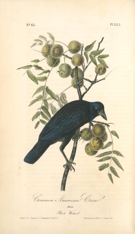 1842 Audubon illustration of an American crow perched on a black walnut tree branch