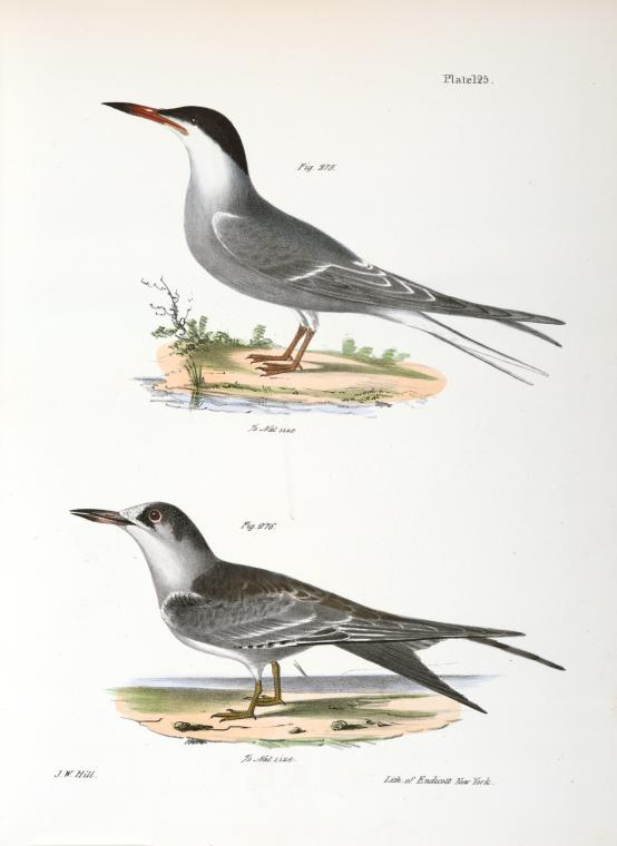 1843 De Kay Illustration of a sea swallow