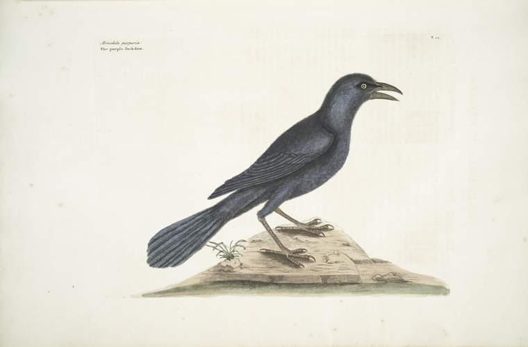 1754 Catesby Illustration of a Common Grackle