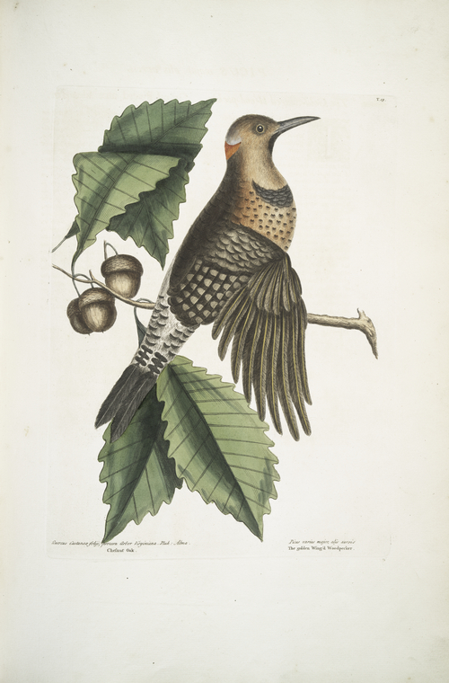 1754 Catesby Illustration of a Northern Flicker