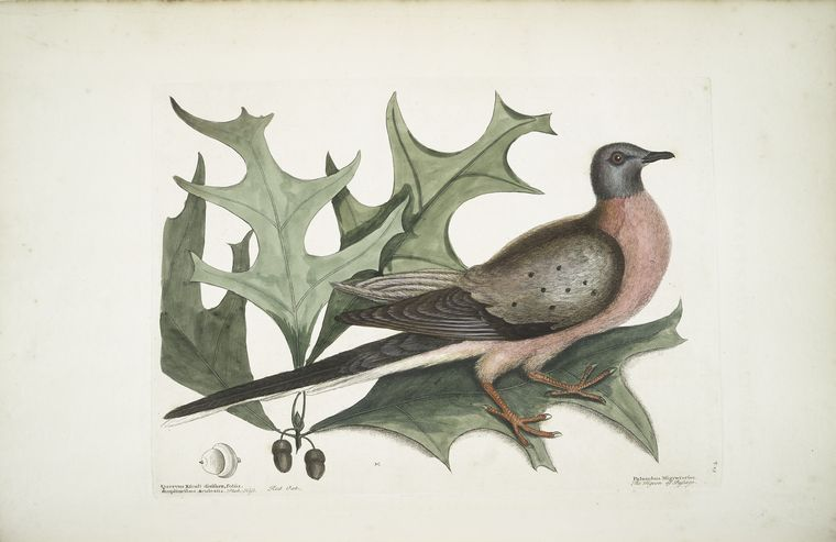 1754 Catesby Illustration of a Passenger Pigeon