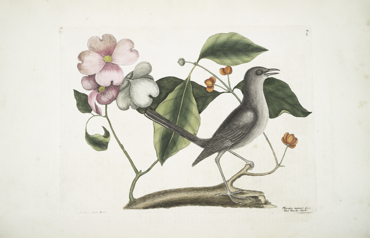 1754 Catesby Illustration of a Northern Mockingbird, perched on a tree branch that has pink blossoms