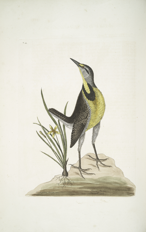 1754 Catesby illustration of an Eastern Meadowlark