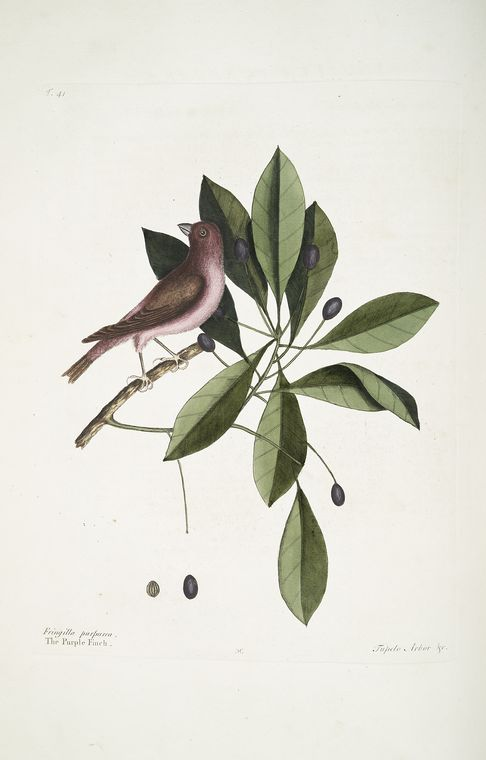 1754 Catesby Illustration of a Purple Finch